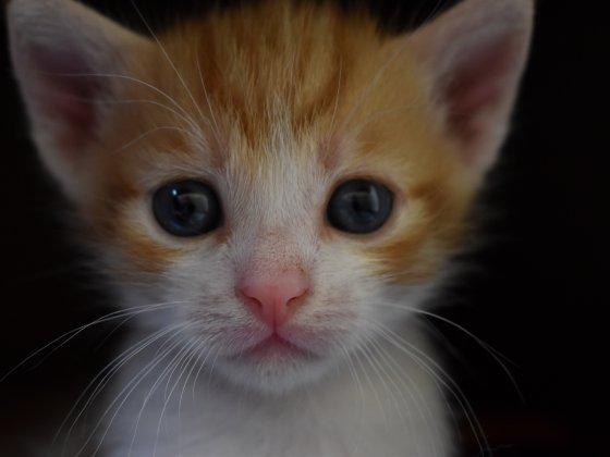 kitten-kat-gezinslid-viervoeter