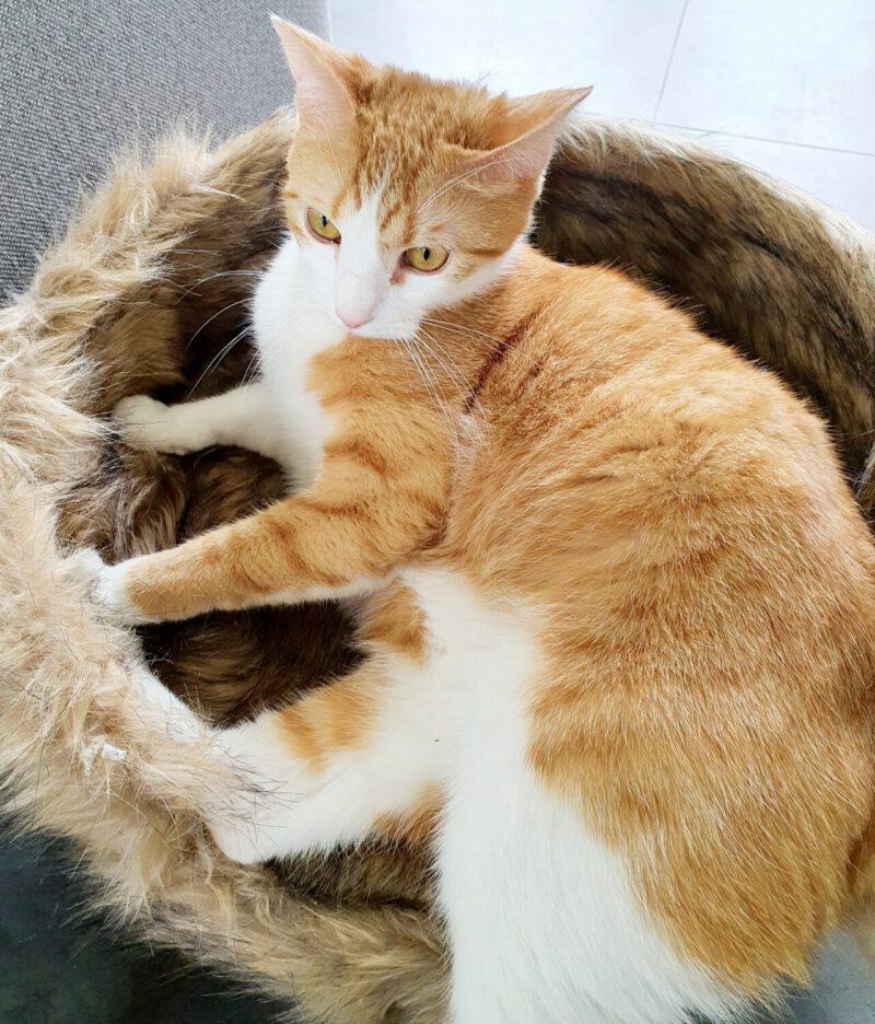 huisdier-kat